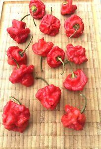 15 Scotch Bonnet rot Chili Samen sehr scharfe Sorte aus der Karibik ergibig