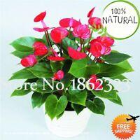 Big Mixed Anthurium Seeds Plants Bonsai Flower Diy Indoor Color Rare 100pcs