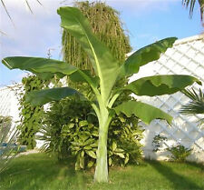 Ensete Glaucum, Snow Banana Garden MUSA Tree Massive Flower 5 Seeds