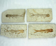 One(1) Fossil Fish Lycoptera Davidi Cretaceous on Matrix 110*65 mm-LJ111 Good