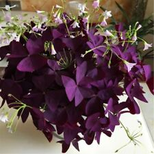 Perennial 2 Pcs Precious Red Woodsorrel seeds  Garden Clover Ornamental Bonsai