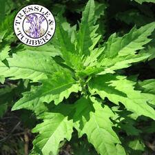 Rare Epazote Chenopodium ambrosioides herb  approx 50 seeds  UK SELLER