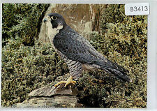 B3413law British Birds of Prey Peregrine postcard