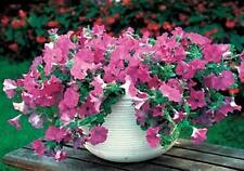 Petunia  Wave Lavender Annual Seeds