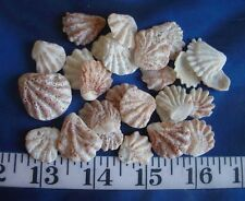 ~ Kitten Paw Shells ~ 25 ~ Ivory/Beige/Tan ~ Shellcraft ~ Sailor's Valentines ~