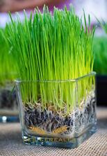 250 Grains de blé à semer, plante décorative, herbe de blé