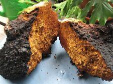 Fresh 225 grams 1/2 lbs Organic Inonotus obliquus WILD CHAGA Mushroom Chunks