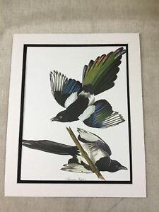 Vintage Print American Magpie Bird Audubon's Book of Birds of America LARGE