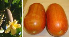 Sicana odorifera - Musk Cucumber - 10 Seeds