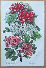 van Houtte: Garden Flowers Whitethorn - 1865