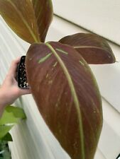 Siam Ruby Musa Variegated Banana( Not For Ca)