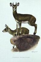 Impression Affiche papier Histoire Naturelle l'Oreotrague