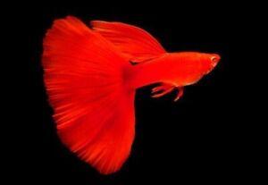Full Red Albino Guppies Breeding Trio *Tropical Fish*