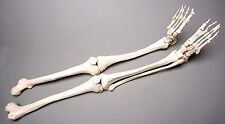 Halloween Horror Skeleton Legs Life-Size Human, Left & Right, NEW