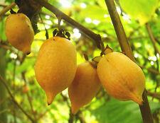 rare climber plant ORANGE KIWI Silver Vine Actinidia polygama edible fruit hardy