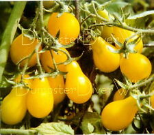 Yellow Pear Tomato 50+seed Organic Prolific producer very Sweet heirloom Non-Gmo