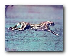 Running Cheetah Spotted Wind Wildlife Animal Wall Decor Art Print Poster (16x20)