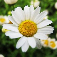White Daisy Seeds 30 Seeds Chrysanthemum Paludosum Flower Garden Seeds Hot A048