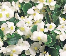BEGONIA WAX WHITE Begonia Semperflorens - 1,000 Bulk Seeds