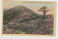 North Carolina This Vintage Postcard is Circa 1950. Vintage Postcard of Blossoming Rhododendron on Blue Ridge Parkway in North Carolina
