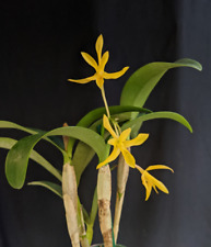 New listing Very rare Cattleya aurantiaca v. aurea large plant