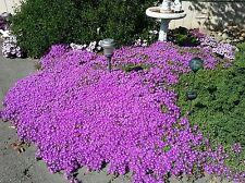 1 pound. DELOSPERMA SUTHERLANDII HARDY ICE PLANT beautiful GROUND COVER