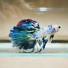 Live Betta Fish - Male - Fancy Multicolor Halfmoon (HFJUN96) (High-Grade)