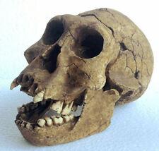 MOULAGE FOSSILE crane Homo Erectus Georgicus RESINE hominid skull cast