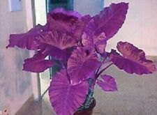 Elephant Ear Bulbs Purple Colocasia Plant Perennial Resistant Flower Rare Potted