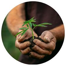 Nutzhanf Samen / Sativa / Angelhanf / Futtermittel / ohne THC / 50 Samen