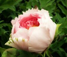 Heirloom Light Pink Rose Red Tree Peony 'Qiu Ball' Flower Seeds, Strong Fragrant