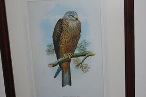 """Vintage lithograph & frame with hand inked mount board """"The Raptor-Black Kite""""."""
