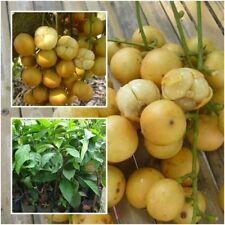 Baccaurea ramiflora Burmese grape Tree Plant Grafted Fruit Thailand Tall 20''