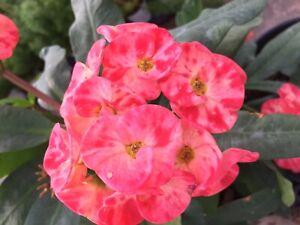"Cuttings Crown of Thorns / Euphorbia milii/ Corona de Cristo ""Rose of the North"""