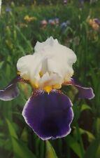 "Historic Tall Bearded Iris ""Wabash"""