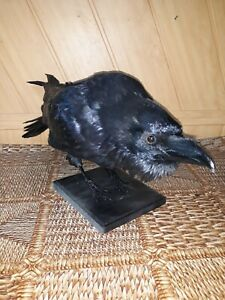 Taxidermy Stuffed Bird raven, crow (Corvus corax) Excellent composition!