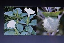 5 Samen Toloache,mexikanischer Stechapfel,Datura inoxia,giftig#555