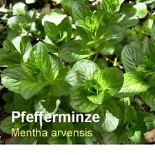 ***30ml Minzöl, Pfefferminzöl (Mentha arvensis) Japan