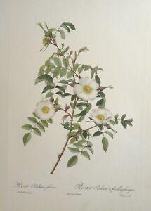 Antique Lithograph Rosa Redutea Glauca by Pierre-Joseph Redoute