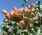 Pistachio, Pistachio Nut Pistacia vera 50 seeds