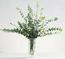 "Fresh Fragrant Eucalyptus TWO ""Grower's Bunch"" Decor, Wedding, Party, Shower"