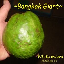 ~BANGKOK GIANT~ Psidium guajava WHITE GUAVA Fruit Tree LIVE potted 8-12+in Plant
