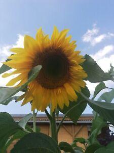 30 Samen Sonnenblume riesengroß...wahnsinnig schön Big Smiley