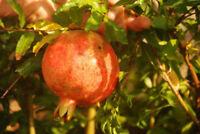 """4 Pomegranate Live Plant Salavatski Includes Four Fruits Plants Garden 2"""" Pot"""