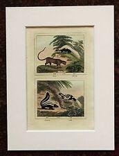 Impresión de color mano montado Buffon Antiguo c.1800 - grabado-Skunk-zorille