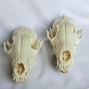 2 Pcs Real Fox skulls Academic study Surprise gift, Real animal skulls(Snow Fox)