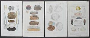 1837 4 Genuine Antique Cuvier Prints Molluscs Mollusca Shells