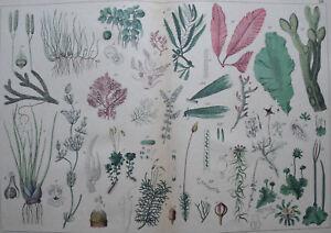 Algae  Sea Weed ... Antique lithograph..SCHUBERT..1872