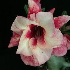 Adenium obese cv. Gloria Dai, desert rose hybrid
