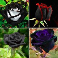 100pcs/bag Black Rose Seeds with red edge rare color popular garden flower Peren